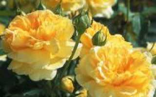Роза молинью энциклопедия роз