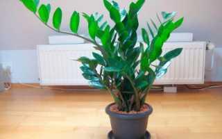 Долларовое дерево как размножить листом