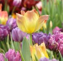 Тюльпан лилиецветный фото