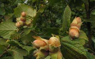 Как посадить фундук из ореха в домашних
