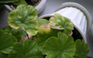 Болезни пеларгоний по листьям фото