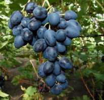 Как вырастить виноград в теплице в сибири