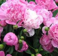 Пион фото цветов крупным планом