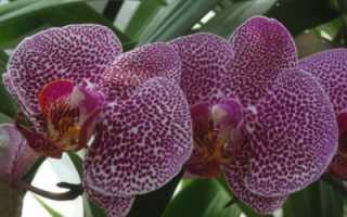 Сорта орхидей с фото и названиями фаленопсис