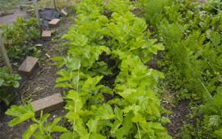 Пастернак овощ польза и вред
