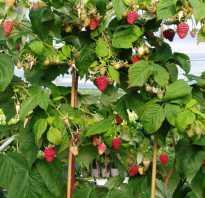 Что делать с малиновым деревом осенью