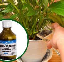 Как использовать перекись водорода для комнатных растений