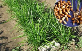 Земляной орех чуфа выращивание