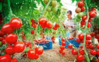 Низкие сорта томатов для теплиц