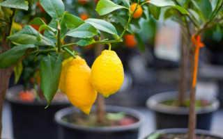 Как правильно посадить лимон в домашних условиях