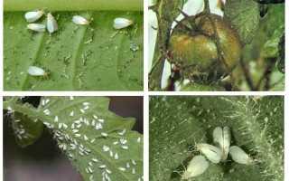 Народные средства от белокрылки в теплице