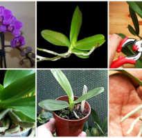 Как размножить орхидею в домашних условиях пошаговое