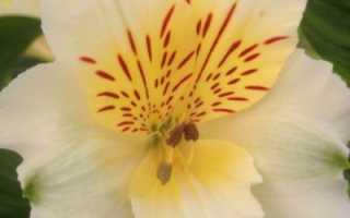 Луковичный цветок похожий на лилию