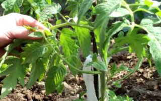 Пасынкование помидоров в теплице