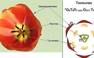 Описание тюльпана для 3 класса