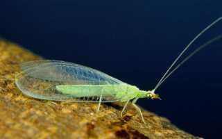 Златоглазка насекомое фото