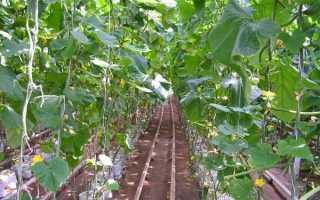 Агротехника огурцов в теплице