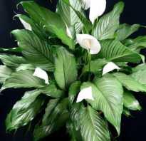Удобрение для спатифиллума в домашних условиях