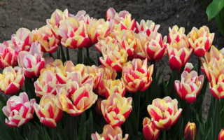 Тюльпан гудошник дабл