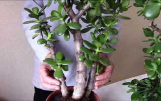 Денежное дерево уход формирование кроны
