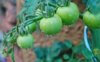 Полив томатов в теплице из поликарбоната