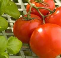 Голландские сорта томатов для теплицы