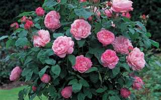 Роза мэри роуз фото и описание отзывы