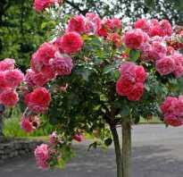 Роза розариум ютерсен фото и описание отзывы