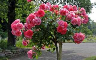 Роза розариум ютерсен энциклопедия роз