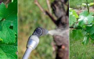 Осенняя обработка винограда от болезней и вредителей