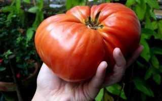 Сорта крупноплодных томатов для теплицы