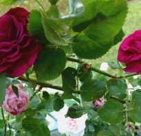 Роза доктор джо энциклопедия роз