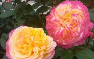 Роза кордес джубили энциклопедия роз
