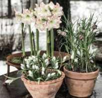 Гиппеаструм фото выращивание и уход