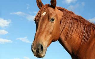 Хроническая болезнь лошадей