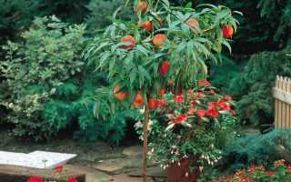 Персик дерево фото