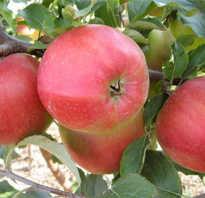 Яблоки лиголь фото
