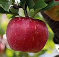 Лучшие сорта яблок для ростовской области