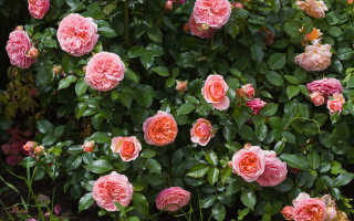 Роза чиппендейл фото
