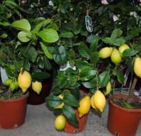 Болезни комнатного лимона с фото