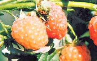 Желтые сорта малины