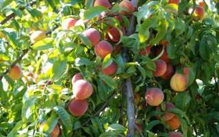 Как правильно обрезать персик