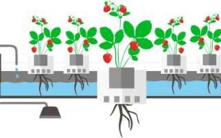 Семена клубники для гидропоники