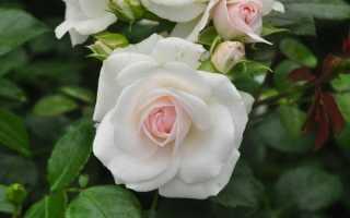 Роза аспирин отзывы