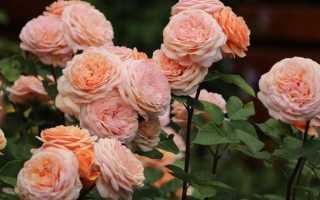 Роза чарльз остин энциклопедия роз