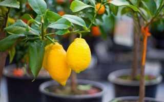 Когда обрезать лимон в домашних условиях