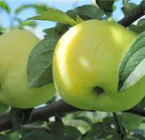 Антоновка сорт яблок описание фото
