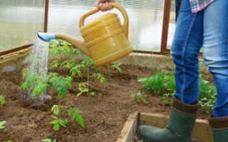 Правильный полив томатов в теплице