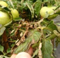 Как защитить помидоры в теплице от фитофторы