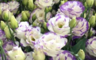 Как сажать цветок эустома